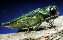 Fighting the emerald ash borer – Grants for property owners for the treatment or felling of ash trees