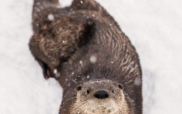 Ecomuseum Zoo welcomes otter trio