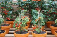 Tips on Growing Tomatoes in Containers