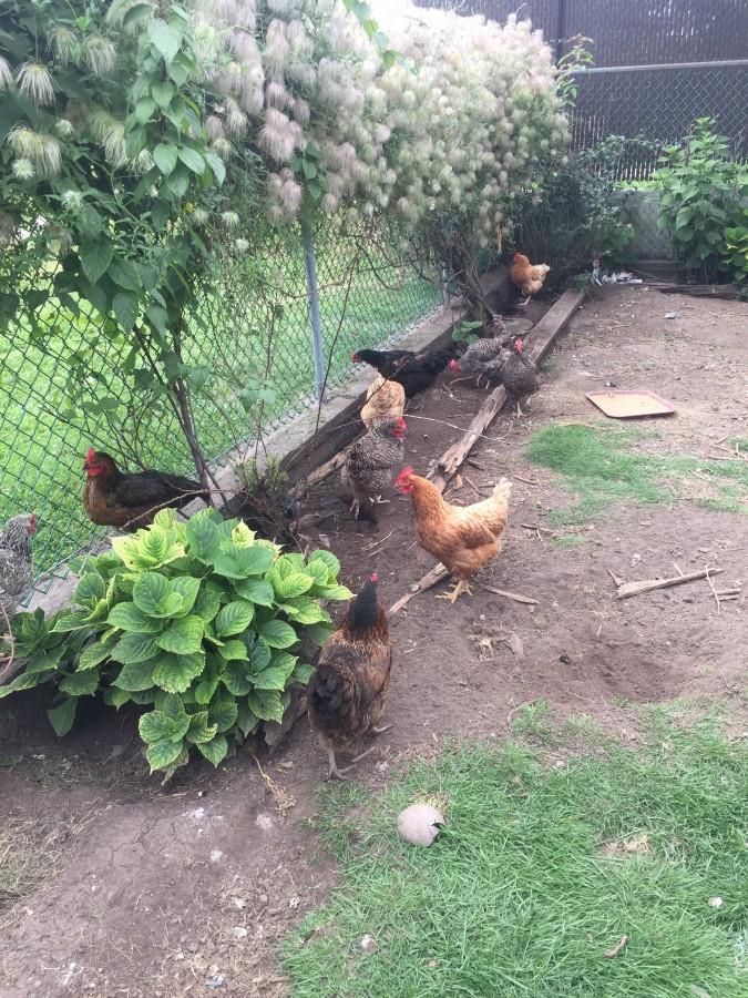 Dagenais keeps ten chickens at home