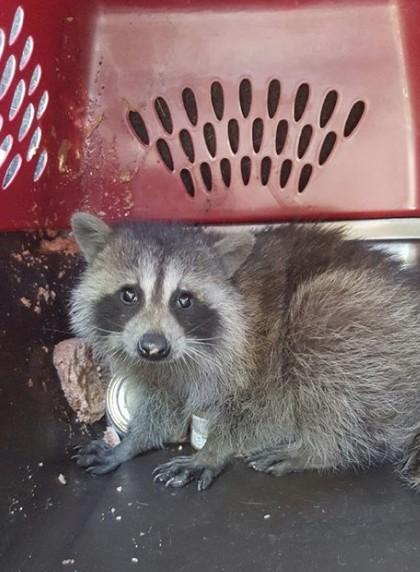 Rhonda Massad, SPCA, Beaconsfield, Valerie Moreau, Racoon, Garbage, Recyle