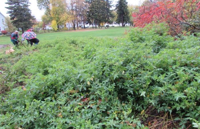 Baie d'Urfé, Tomatoes, Community Garden, Rhonda Massad, West Island Blog, Tomatoes grow wild in Baie D'Urfé, Community Garden