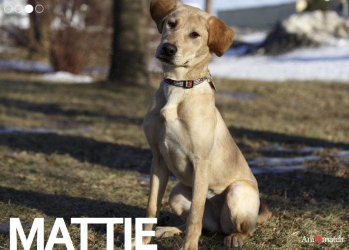 Featured Pets, Animatch, Mattie, Kelly, Keller, Yellow Lab, Pug, Rhonda Massad, News, West Island News, Pet Adoption, Second Chance