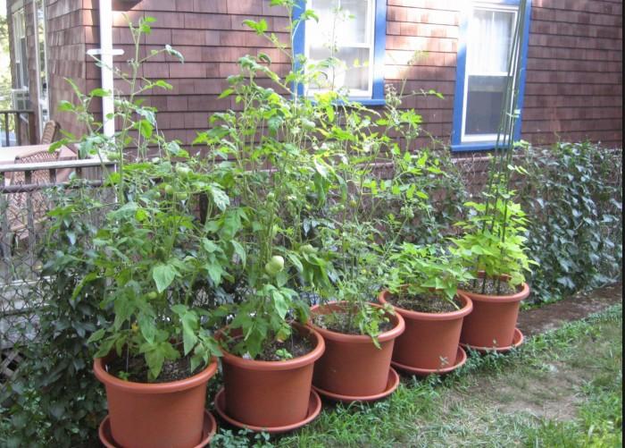 Tomatoes, Rhonda Massad, West Island Blog, West Island News, Gardening, Containers