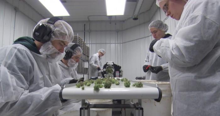 50 West Island jobs at Aurora Vie, Pointe Claire's new cannabis producer