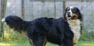 Kingsley Animatch Dog