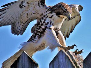 Technoparc-Oiseaux-wildlife-eddy-hawk-wayne-archibald-1