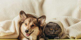 Dorval-online-pet-licensing-cute-cat-dog-under-blanket-on-sofa