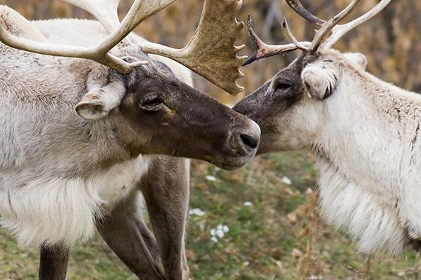 Ecomuseum-zoo-animal-Sponsorship-caribou-des-bois-woodland-caribou