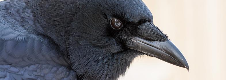 Zoo-Ecomuseum-Sponsor-an-animal-corneille-crow