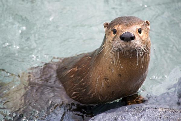 Ecomuseum-zoo-animal-Sponsorship-loutre-de-riviere-river-otter_1